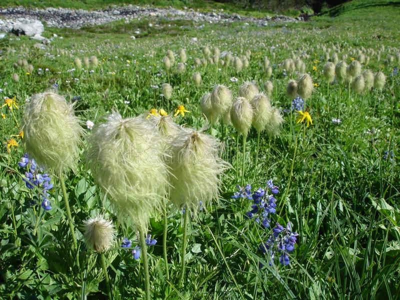 Flor salvaje mullida imagen de archivo