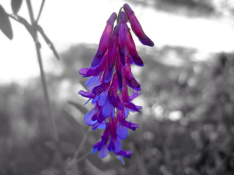 Flor salvaje púrpura y azul fotografía de archivo