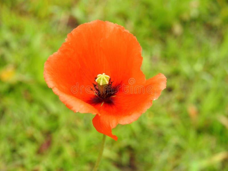 Flor salvaje roja hermosa de la amapola, Lituania foto de archivo libre de regalías