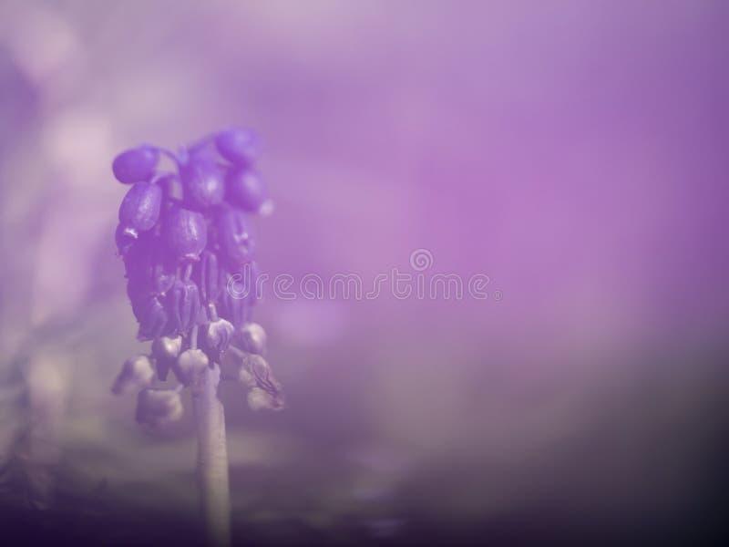 Flor salvaje so?adora del jacinto de uva, Muscari, envejecido levemente Efecto rom?ntico borroso de Defocussed Nostalgia, nieblas fotos de archivo libres de regalías