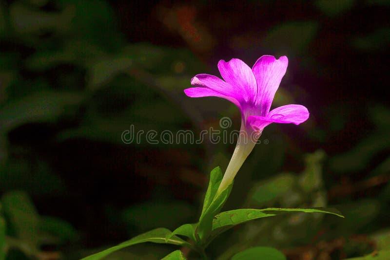 Flor salvaje, SP de Barleria, colonia de la leche de Aarey, la INDIA imagenes de archivo