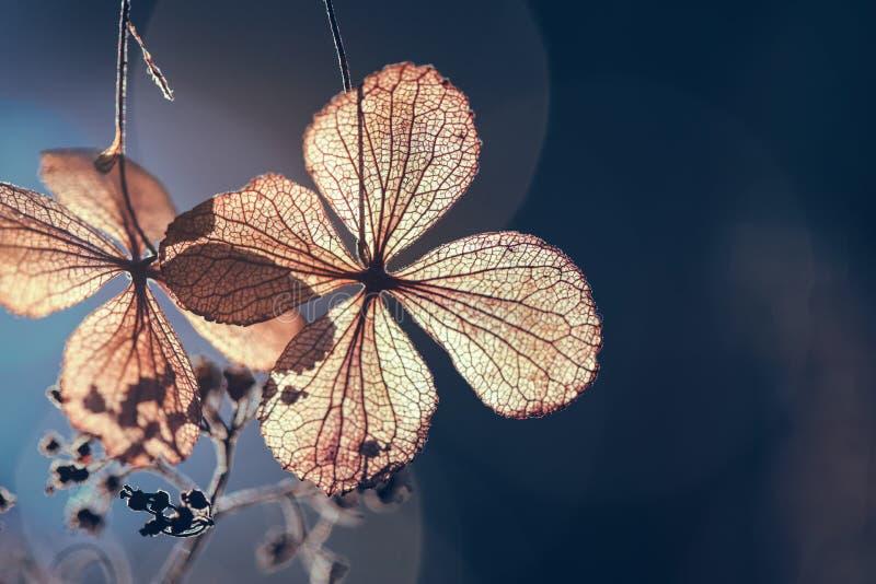 Flor seca de la hortensia con el fondo del verde de la naturaleza fotografía de archivo libre de regalías