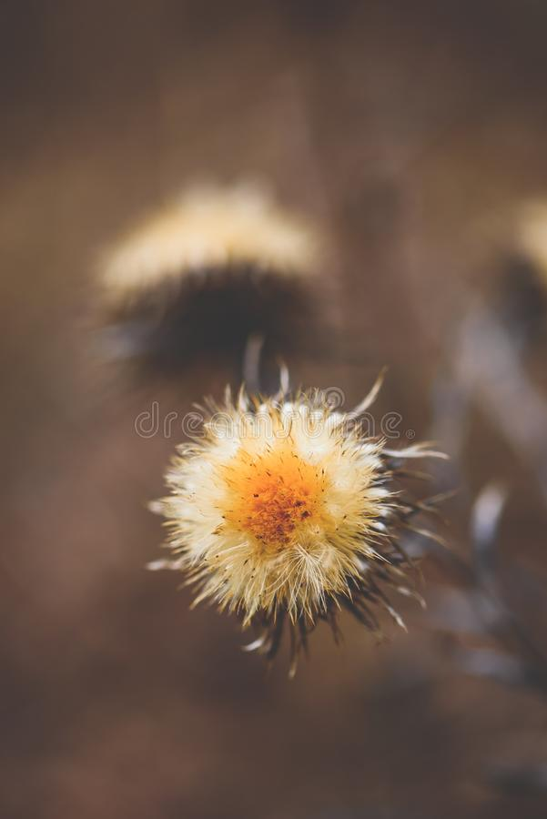 Flor seca do cardo fotos de stock royalty free