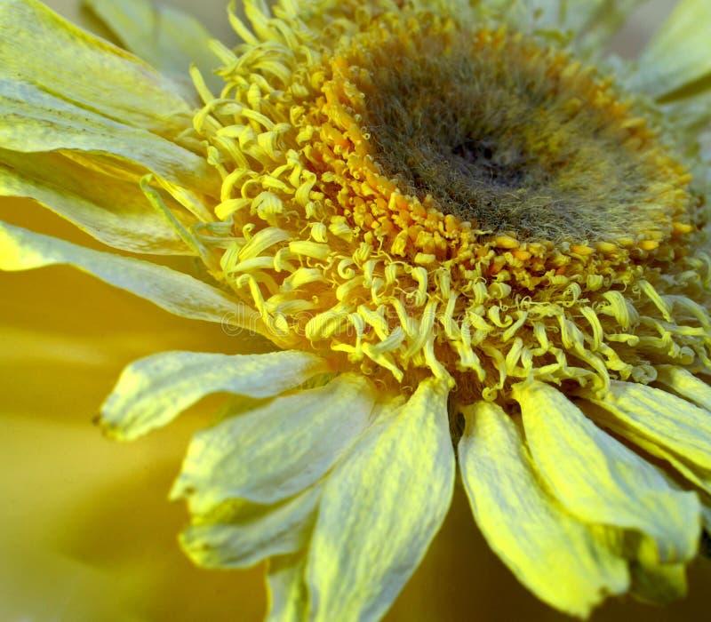 Flor secada de uma camomila imagens de stock