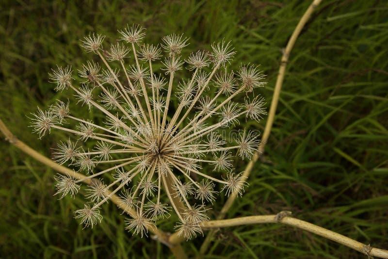 Flor secada em Denali fotografia de stock royalty free