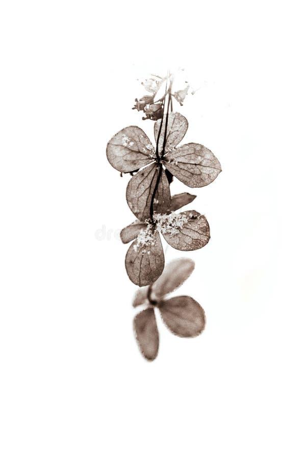 Flor secada marrom delicada em um fundo branco com neve fria em um dia suave imagem de stock