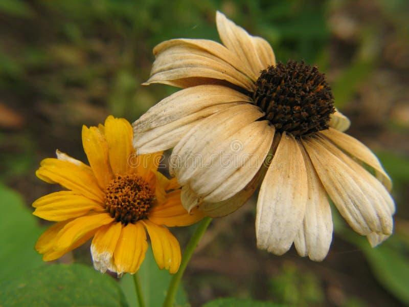 Flor secada, mas fresca fotografia de stock royalty free