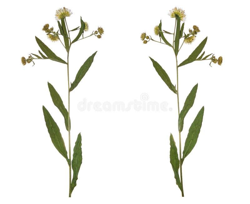 Flor secada presionada del campo de la primavera de la rama Herbario de flores salvajes foto de archivo libre de regalías