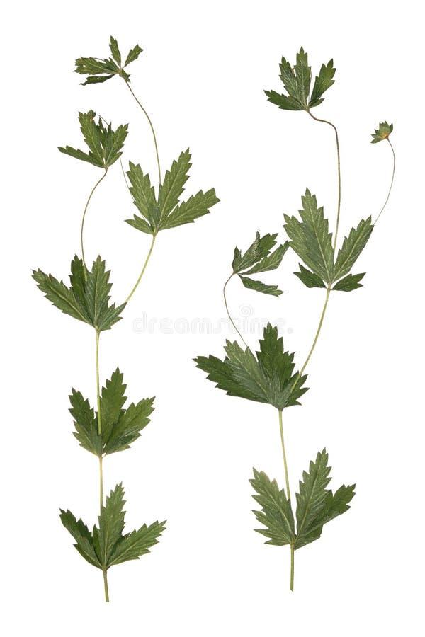 Flor secada pressionada do campo da mola do ramo Herbário de flores selvagens foto de stock royalty free