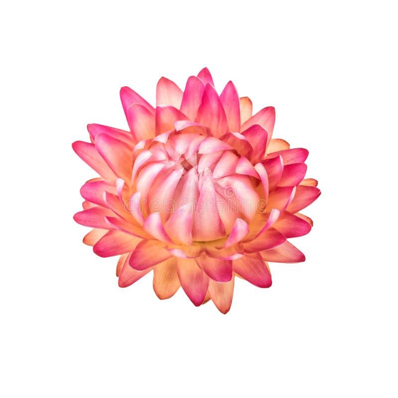 Flor secada Un Straw Flower Isolated eterno rosado en blanco fotografía de archivo