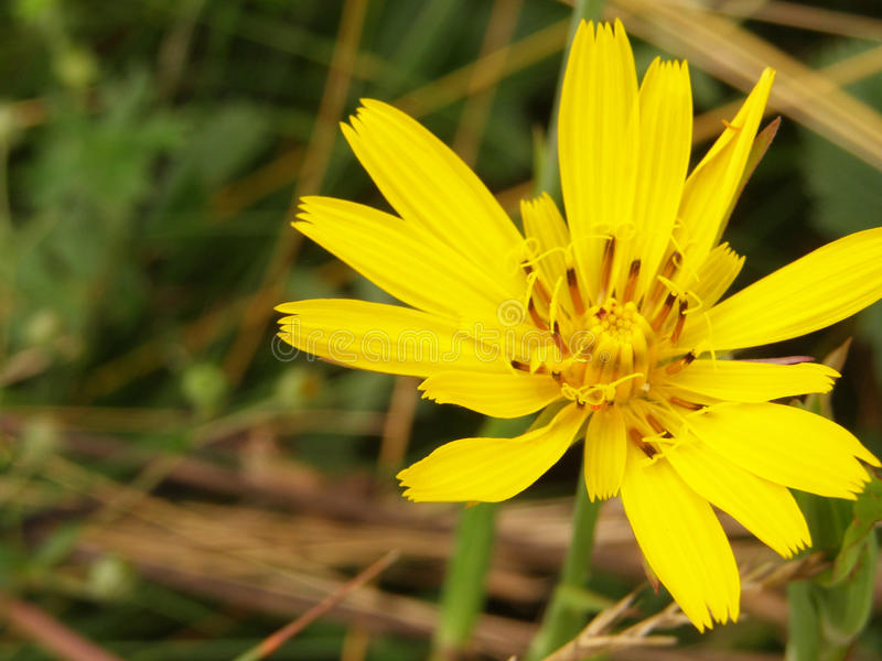 Flor selvagem amarela fotos de stock royalty free