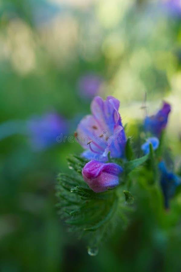 Flor selvagem azul do hyssop no fundo da grama verde fotografia de stock