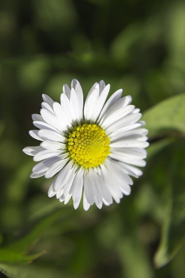 Flor selvagem branca foto de stock