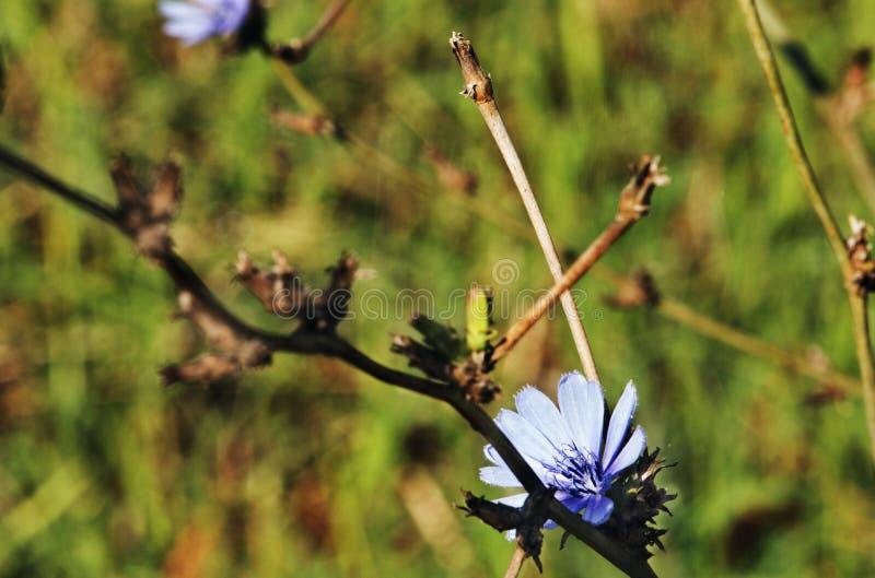 Flor selvagem da chicória imagem de stock