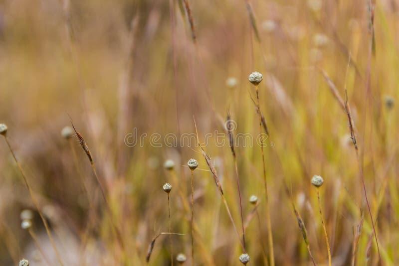 Flor selvagem de Dusita que floresce em Tailândia imagem de stock