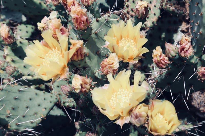 Flor selvagem de florescência do deserto amarelo bonito do cacto imagens de stock