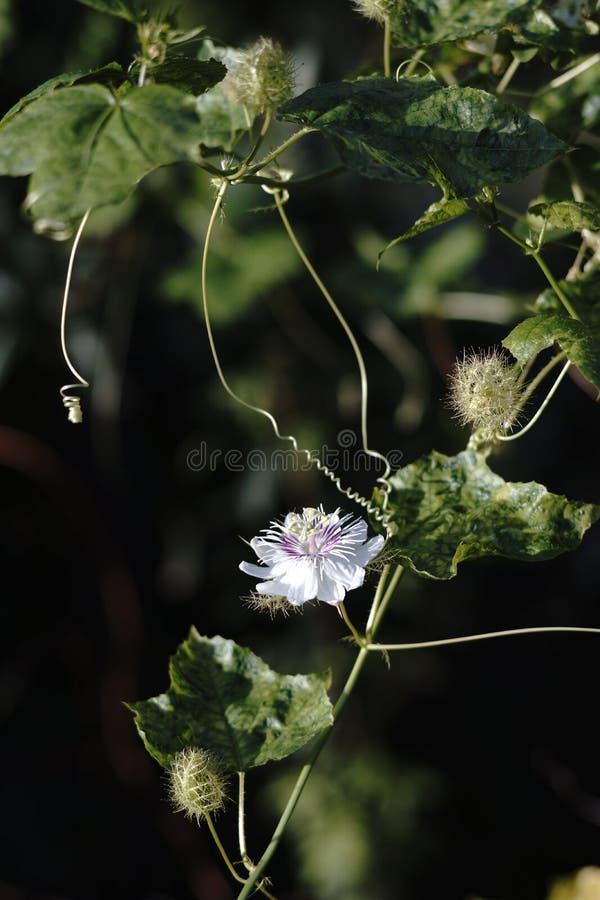 Flor selvagem do fruto de paixão (foetida do Passiflora) fotografia de stock royalty free
