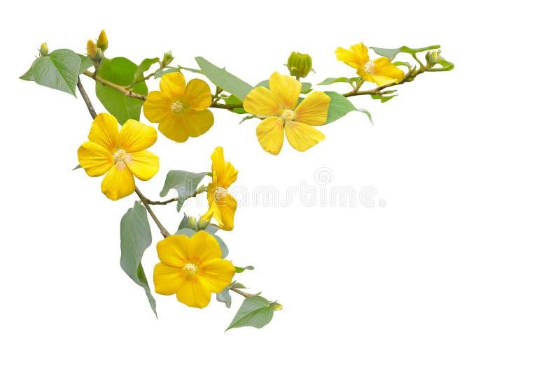 Flor selvagem do hibiscus fotografia de stock royalty free