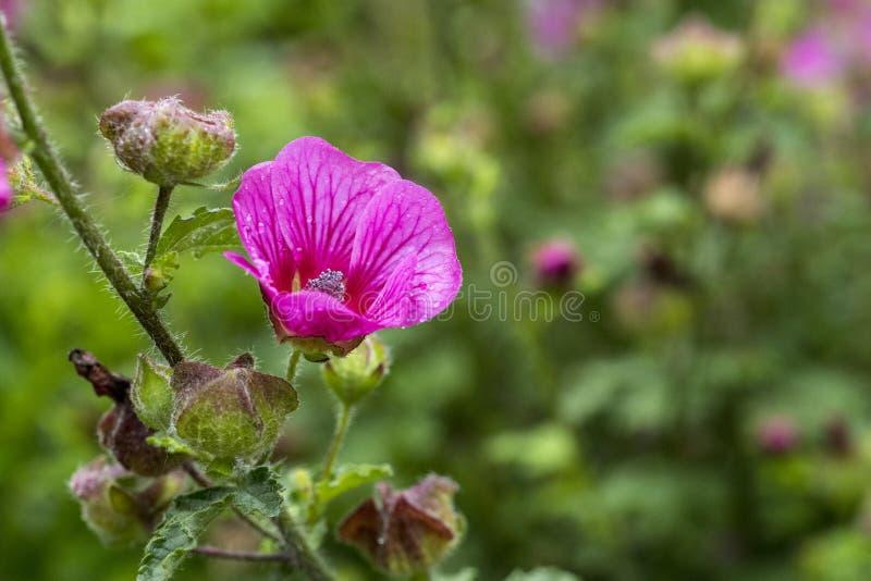 Flor selvagem do malva do lavatera no roxo cor-de-rosa imagem de stock royalty free