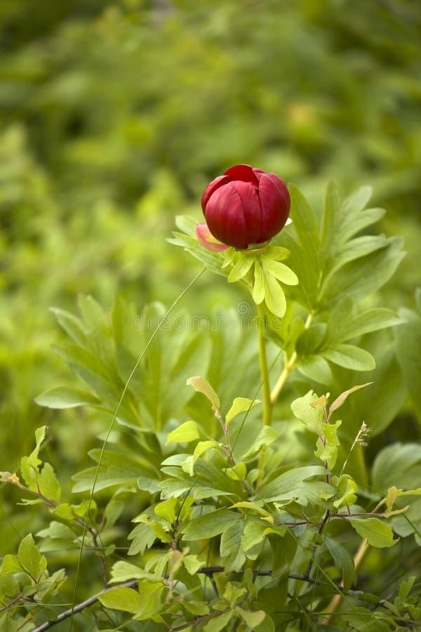 Flor selvagem do peony fotografia de stock