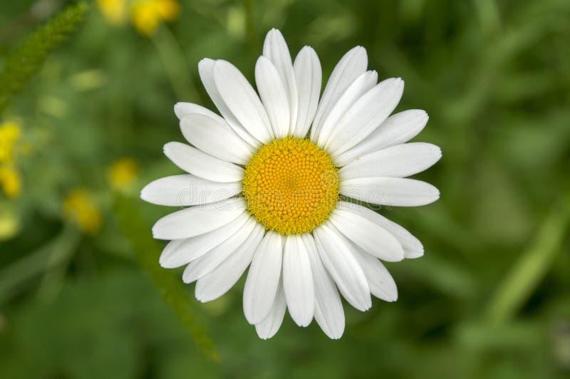 Flor selvagem dos prados do vulgare do Leucanthemum única com pétalas brancas e centro amarelo na flor imagens de stock royalty free