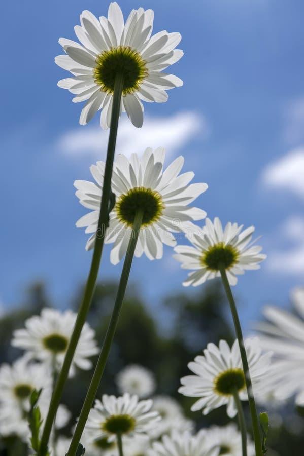 Flor selvagem dos prados do vulgare do Leucanthemum com pétalas brancas e centro amarelo na flor contra o céu azul imagens de stock royalty free