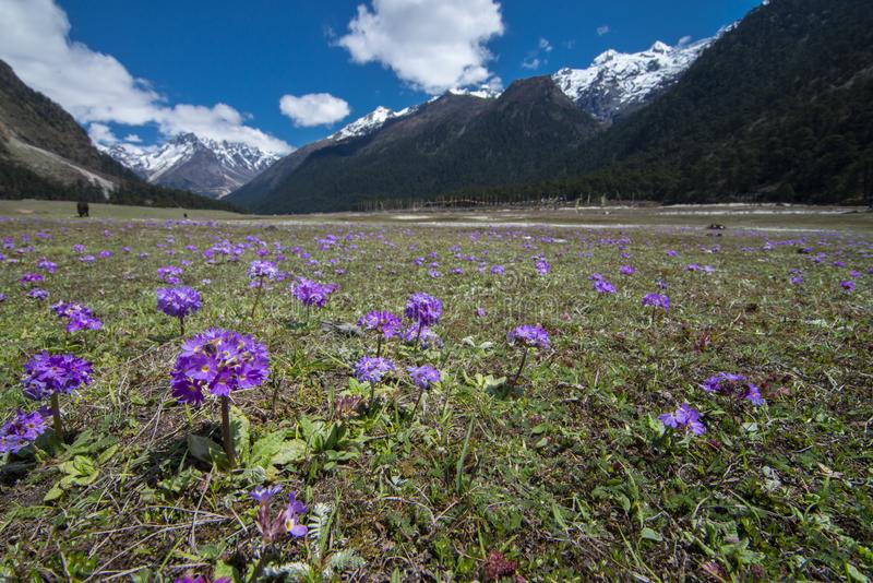 Flor selvagem que floresce no vale de Yumthang, Lachung, Sikkim, ?ndia fotos de stock