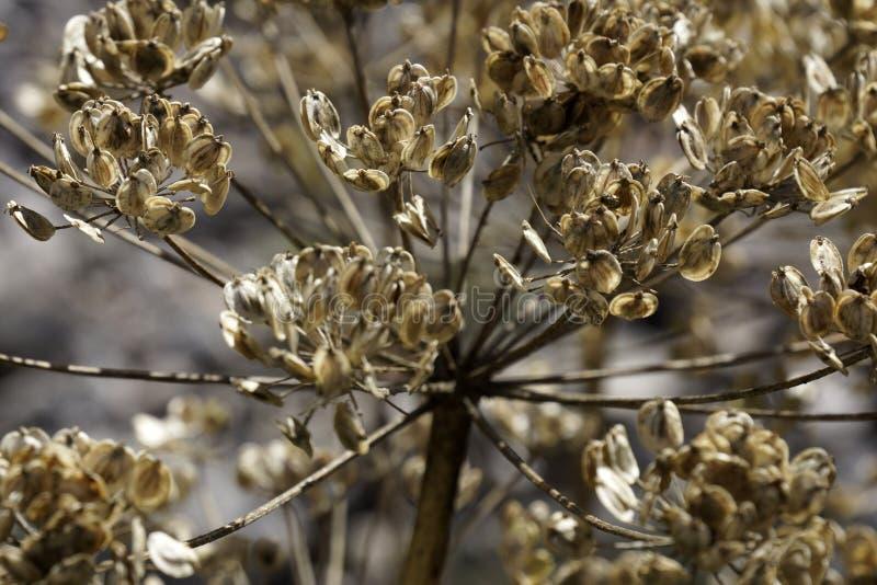 Flor selvagem secada imagens de stock royalty free