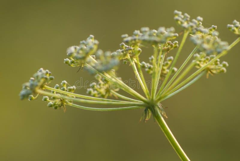 Download Flor Selvagem Verde Em Um Campo Verde Foto de Stock - Imagem de prado, campo: 107528806