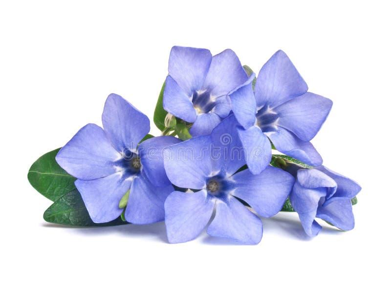 Flor selvagem violeta brilhante da pervinca fotografia de stock royalty free