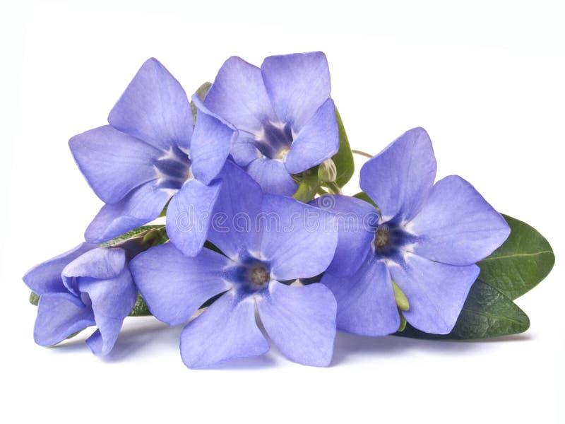 Flor selvagem violeta brilhante da pervinca fotografia de stock