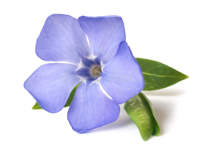 Flor selvagem violeta brilhante da pervinca fotos de stock royalty free