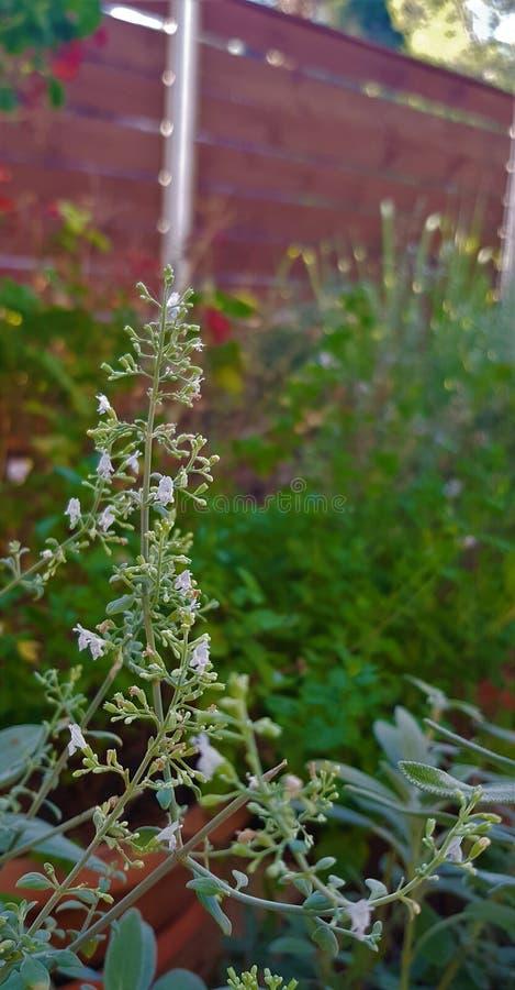 Flor siria del orégano en un jardín fotografía de archivo libre de regalías