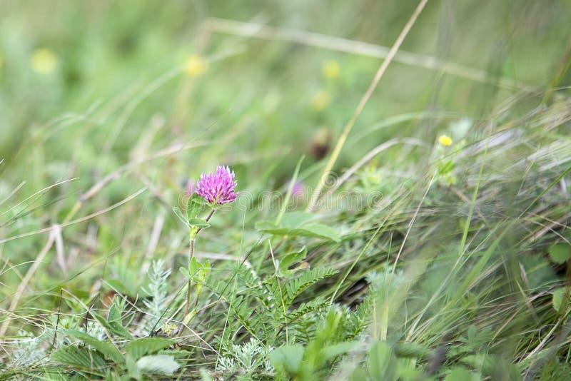 Flor sola del trébol púrpura en campo verde imagen de archivo libre de regalías