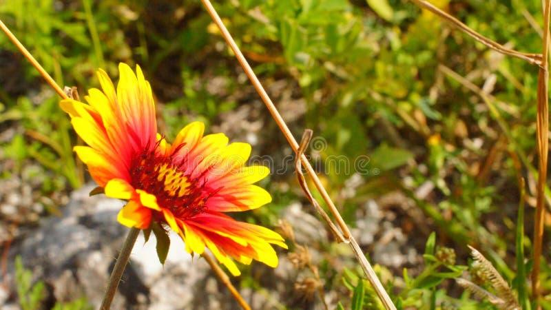 Flor a solas en el verdor fotografía de archivo libre de regalías