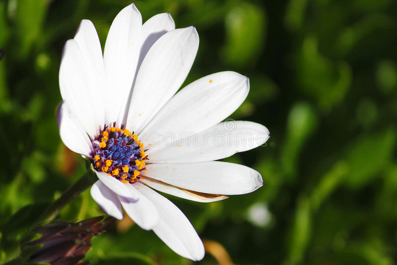 Flor solitária foto de stock royalty free