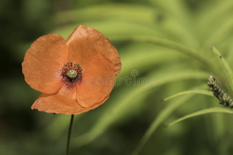 Flor solitaria de la amapola del día de la conmemoración fotos de archivo