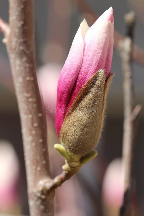 Flor Soulangeana da magnólia foto de stock