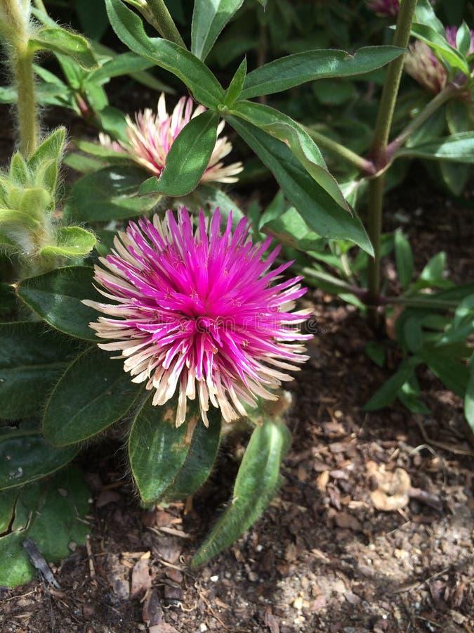 Flor Spiky imagem de stock