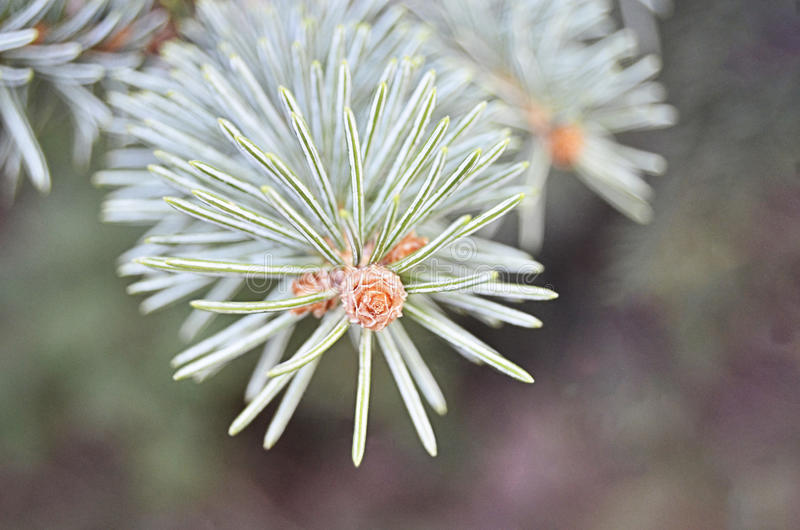 Flor Spruce alaranjada imagens de stock royalty free