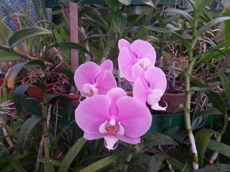 Flor Sri Lanka de Orcid imagens de stock