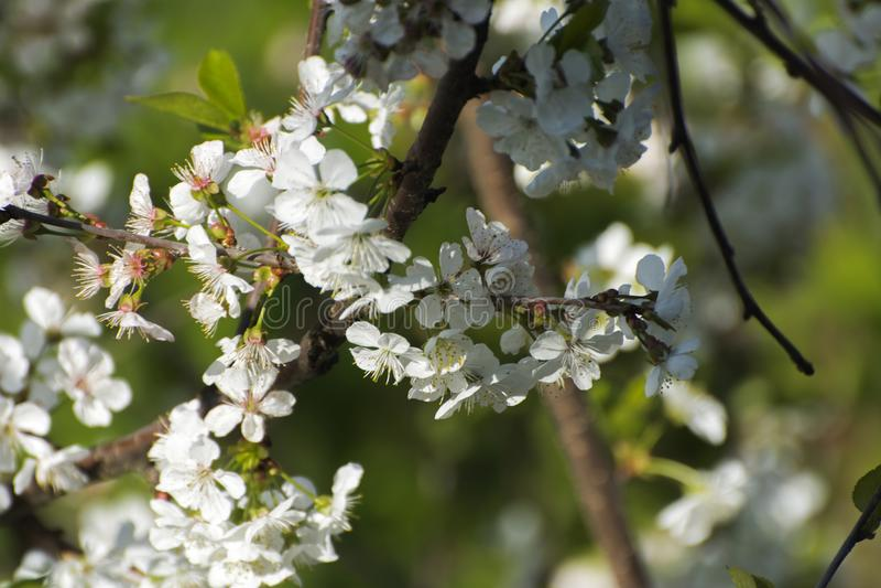 Flor suave de Apple del foco o flor blanca del manzano en un Br del árbol fotos de archivo libres de regalías