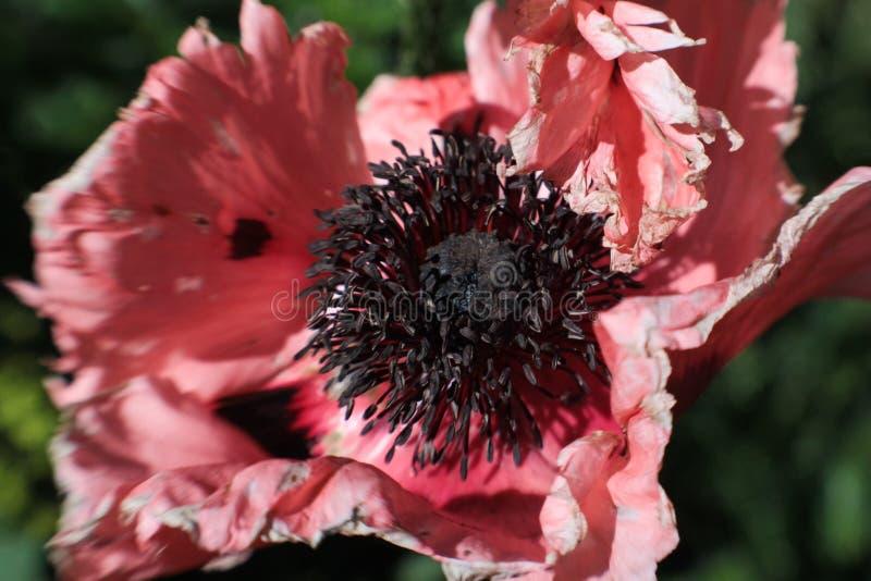 Flor suave de la anémona del rosa de la falta de definición imágenes de archivo libres de regalías