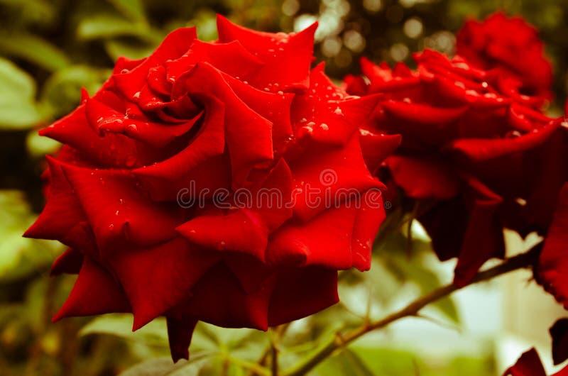 Flor suculenta foto de stock royalty free