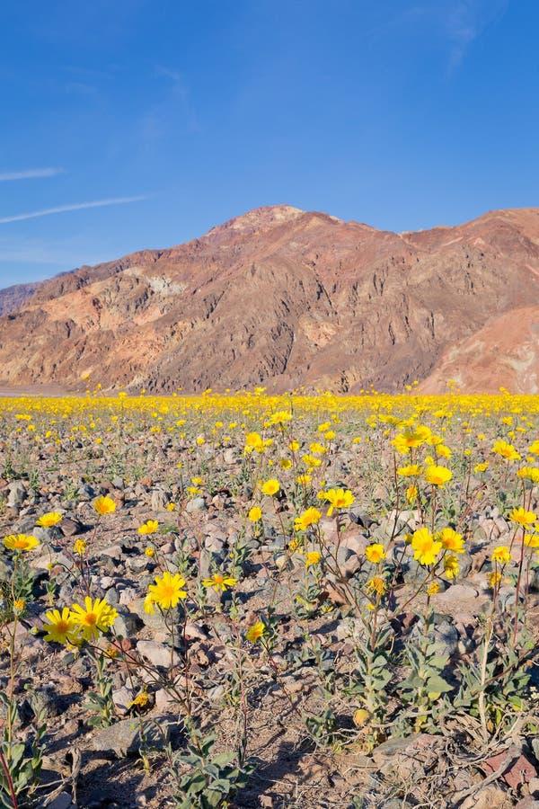 Flor super do Wildflower no Vale da Morte fotos de stock