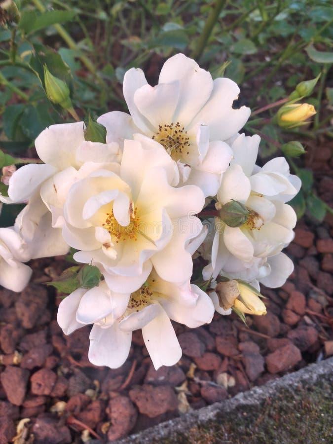 Flor surpreendente branca fotografia de stock
