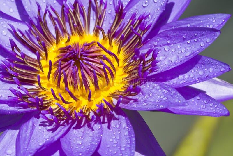 Flor Tailândia dos lótus fotografia de stock royalty free
