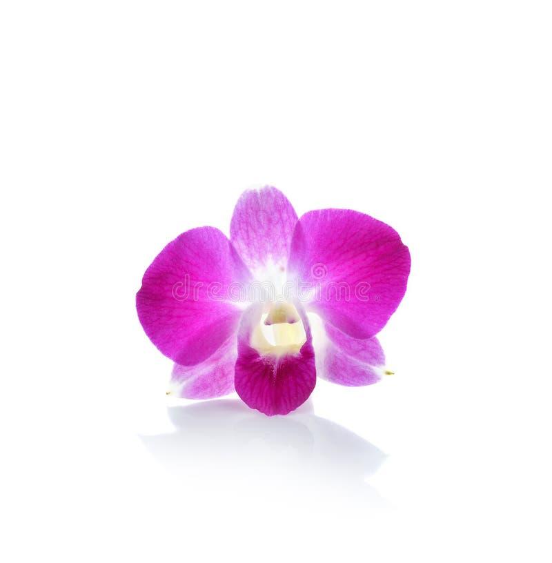 Flor tailandesa da orquídea no fundo branco fotografia de stock