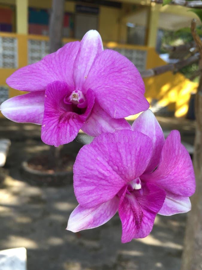 Flor tailandesa púrpura de la orquídea fotografía de archivo