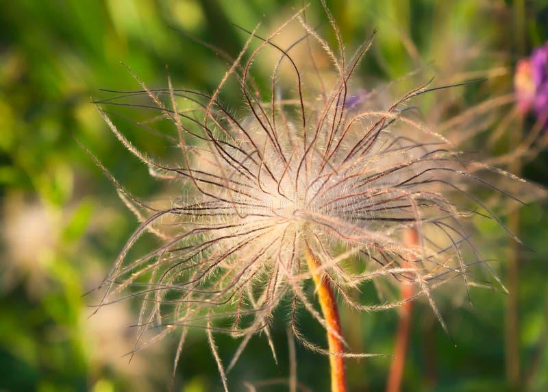 Flor tentacled peludo imagem de stock royalty free